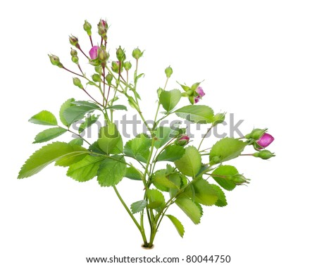 Mini pink rose bush with flowers buds  on bed isolated macro