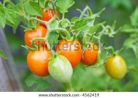 Mini tomatoes in a garden