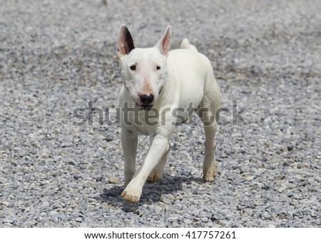 Mini white bull terrier playing on the rocks - stock photo