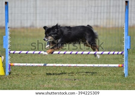 Miniature American (formerly Australian) Shepherd Leaping Over a Jump at Dog Agility Trial - stock photo