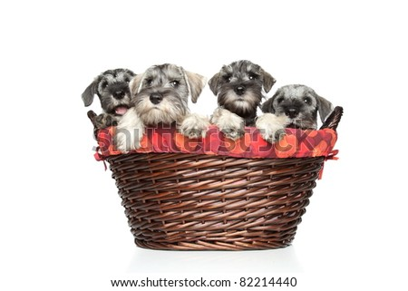 Miniature and standard schnauzer puppies in wicker basket on a white background - stock photo