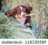Miniature Australian Shepard Puppy - stock photo