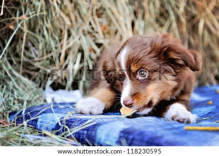 Miniature Australian Shepard Puppy eating cookie - stock photo