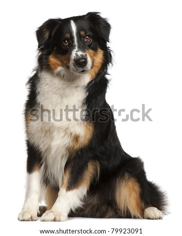 Miniature Australian Shepherd, 2 years old, sitting in front of white background - stock photo