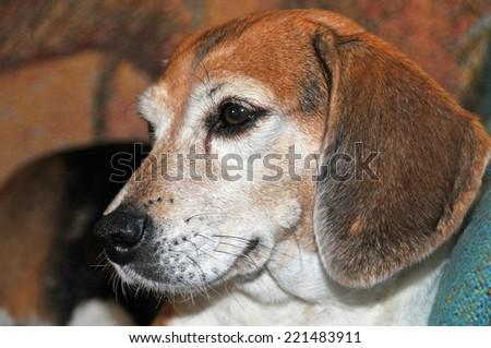 miniature beagle dog close up profile image - stock photo