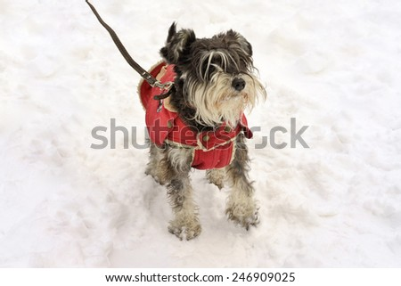 miniature black and silver schnauzer standing wearing the doggy coat in winter on the snow - stock photo