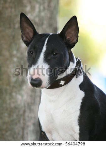 Miniature Bull Terrier - stock photo