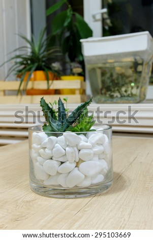 Miniature cactus succulent plant in a glass vase with white gravel. Selective focus - stock photo