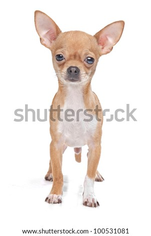 Miniature Chihuahua in front of a white background - stock photo