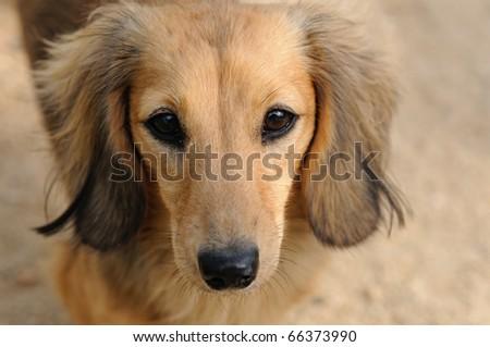 miniature dachshund - stock photo