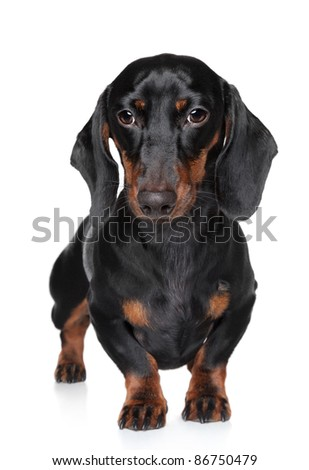 Miniature dachshund close-up portrait on white background