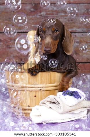 miniature dachshund  in wooden wash basin  - stock photo