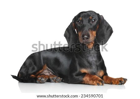 Miniature dachshund lying on white background - stock photo