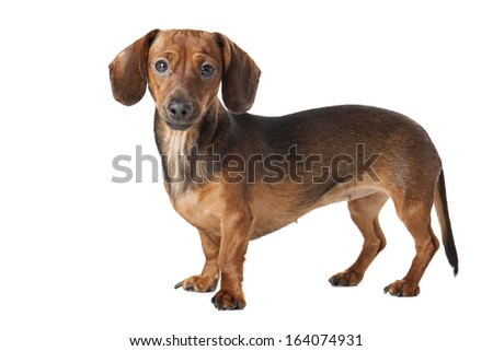 Miniature dachshund on a white background in studio - stock photo