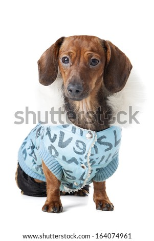 Miniature dachshund on a white background in studio