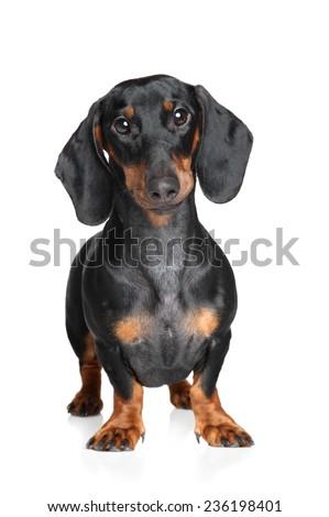 Miniature dachshund. Portrait on a white background - stock photo