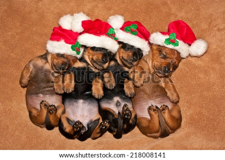 Miniature Dachshund Puppies in The Christmas Spirit - stock photo