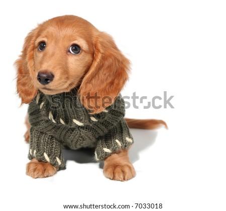 Miniature dachshund puppy in a winter sweater. - stock photo