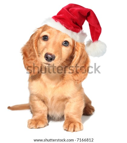 Miniature dachshund puppy wearing a santa hat. - stock photo