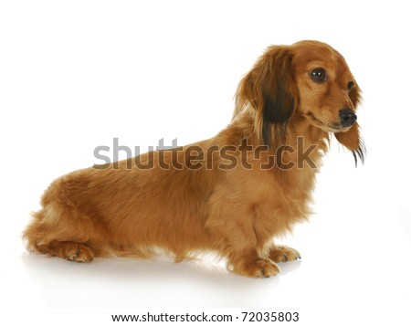 miniature dachshund sitting with reflection on white background