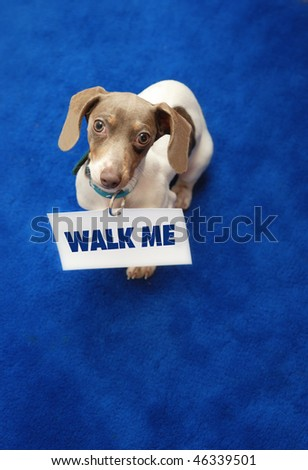 "Miniature Dachshund with ""walk me"" sign as collar on blue carpet. - stock photo"