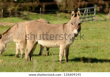 Miniature donkey grazing on new grass in a pasture in Oregon