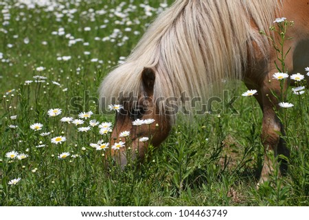 Miniature Horse - stock photo
