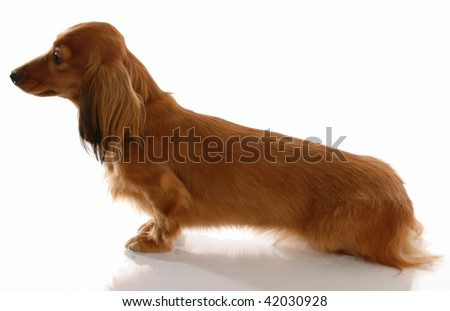 miniature long haired dachshund sitting from the side view - stock photo