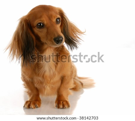 miniature long haired dachshund sitting on white background - stock photo