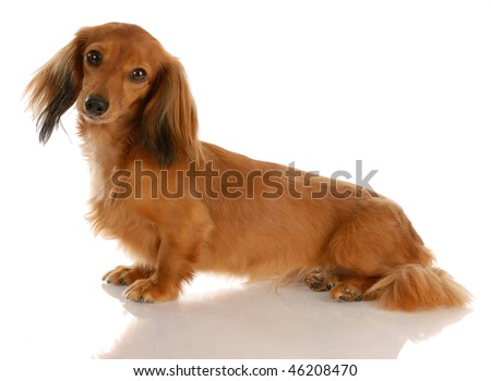 miniature long haired dachshund sitting with reflection on white background