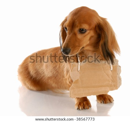 miniature long haired dachshund wearing cardboard sign around neck - stock photo