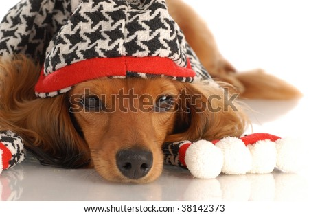 miniature long haired dachshund wearing plaid hat and scarf - stock photo