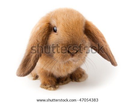Miniature Lop, rabbit. It is cut out on a white background. - stock photo