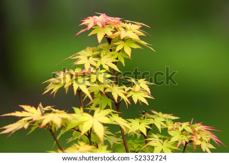 miniature maple tree, very shallow depth of field - stock photo