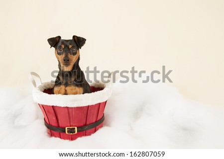 Miniature pincher on a Christmas background - stock photo