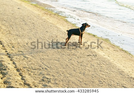 Miniature Pincher or Min Pin wearing harness standing on sandy beach near the sea and waiting  - stock photo