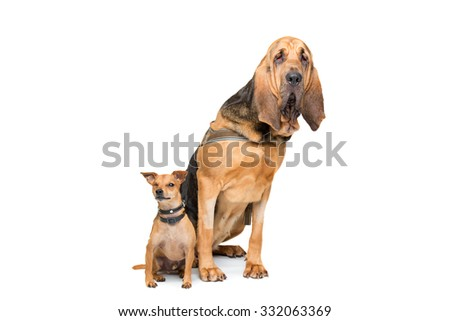 Miniature Pinscher and a bloodhound sitting in front of a white background - stock photo