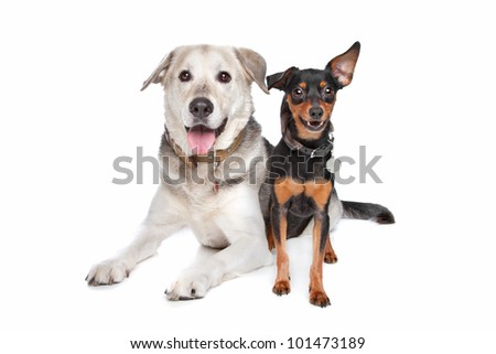 miniature Pinscher and a mixed breed Labrador in front of white - stock photo