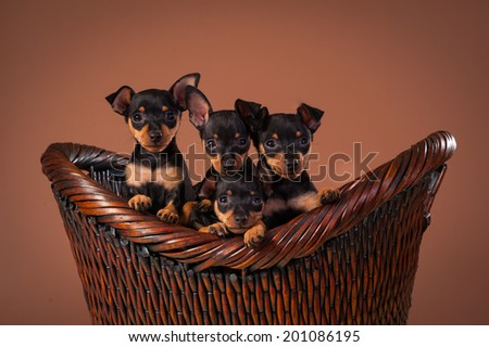 Miniature Pinscher dog breed shot in a studio with brown background - stock photo
