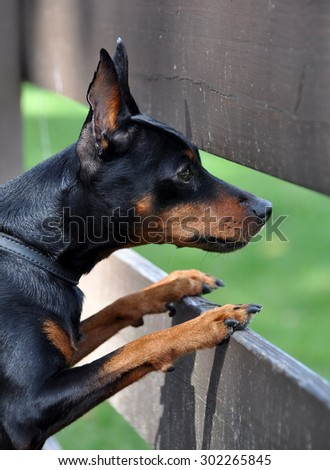 Miniature Pinscher dog looking from behind a fence