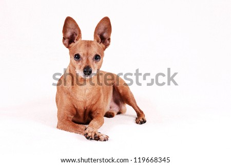 Miniature Pinscher lie a white background