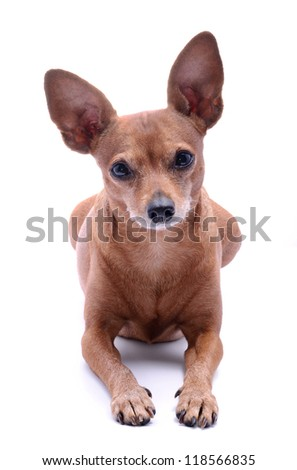Miniature Pinscher lie on white background