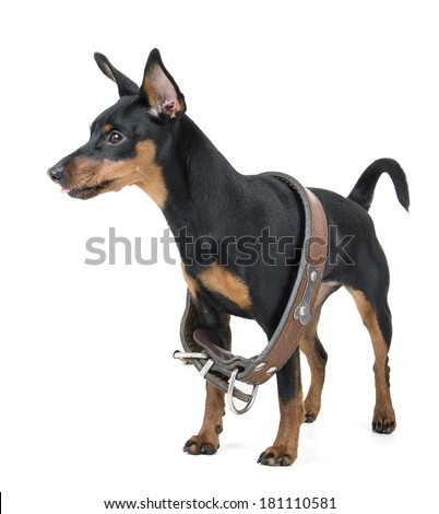 miniature pinscher on a white background in studio