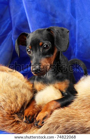 Miniature Pinscher puppy lying on a fox fur - stock photo