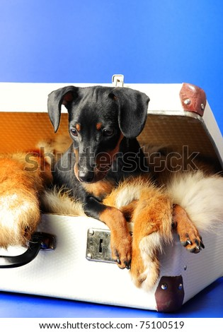 Miniature Pinscher puppy lying on a fox fur, in a Suitcase - stock photo