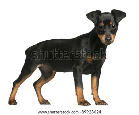Pinscher Puppy Names Miniature Pinscher Puppy