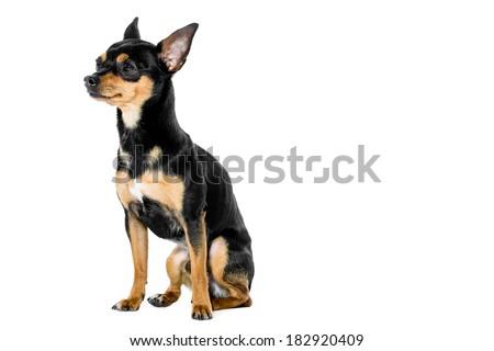 miniature-pinscher sitting  against white background  - stock photo