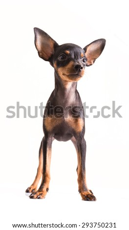 Miniature Pinscher standing on white background