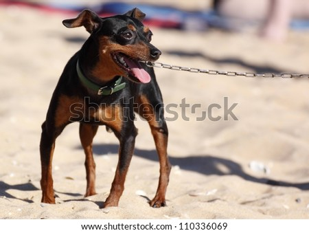 miniature pinscher with chain on the beach