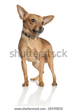 miniature Pinscher (5 years old) in front of a white background